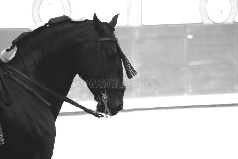 Μαύρο ισπανικό άλογο Ισπανία Μαδρίτη Pureblood στοκ φωτογραφία με δικαίωμα ελεύθερης χρήσης