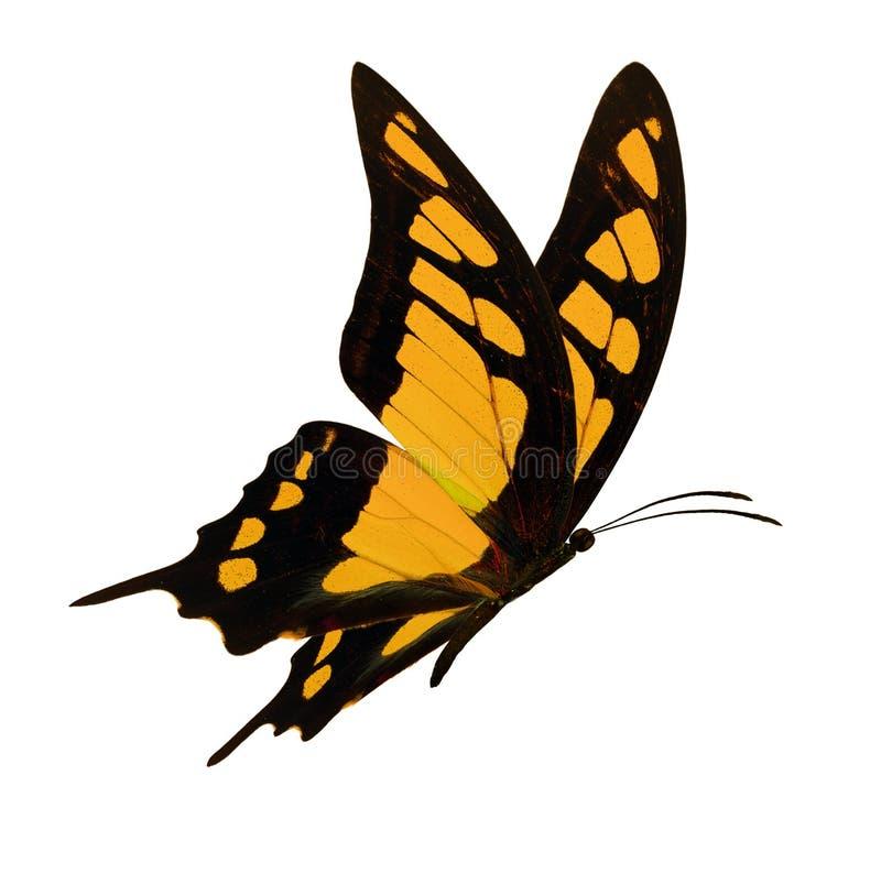 Μαύρο και κίτρινο πέταγμα πεταλούδων στοκ φωτογραφίες