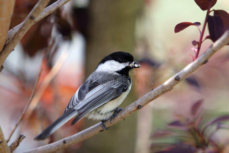 μαύρο καλυμμένο chickadee πουλιών στοκ φωτογραφία με δικαίωμα ελεύθερης χρήσης
