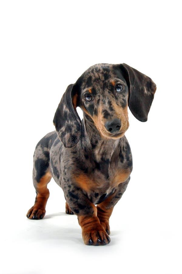 μαύρο καφετί dachshund στοκ φωτογραφίες