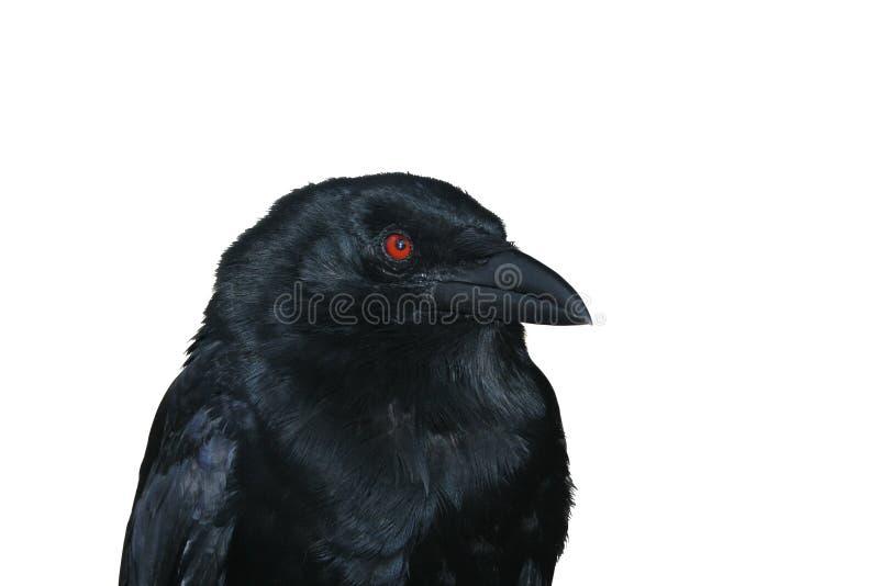 μαύρο κοράκι πορτρέτου στοκ φωτογραφίες