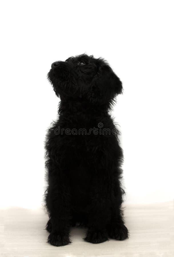Μαύρο κουτάβι στοκ εικόνα με δικαίωμα ελεύθερης χρήσης