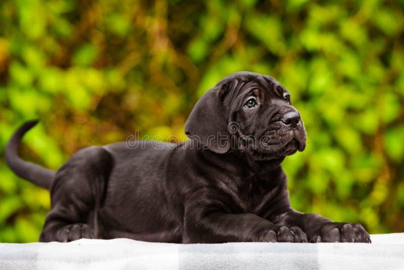 Μαύρο κουτάβι corso καλάμων στοκ φωτογραφία με δικαίωμα ελεύθερης χρήσης