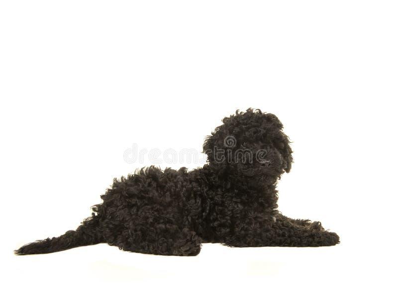 Μαύρο κουτάβι labradoodle που βρίσκεται στο πάτωμα που βλέπει από την πλευρά στοκ εικόνα με δικαίωμα ελεύθερης χρήσης