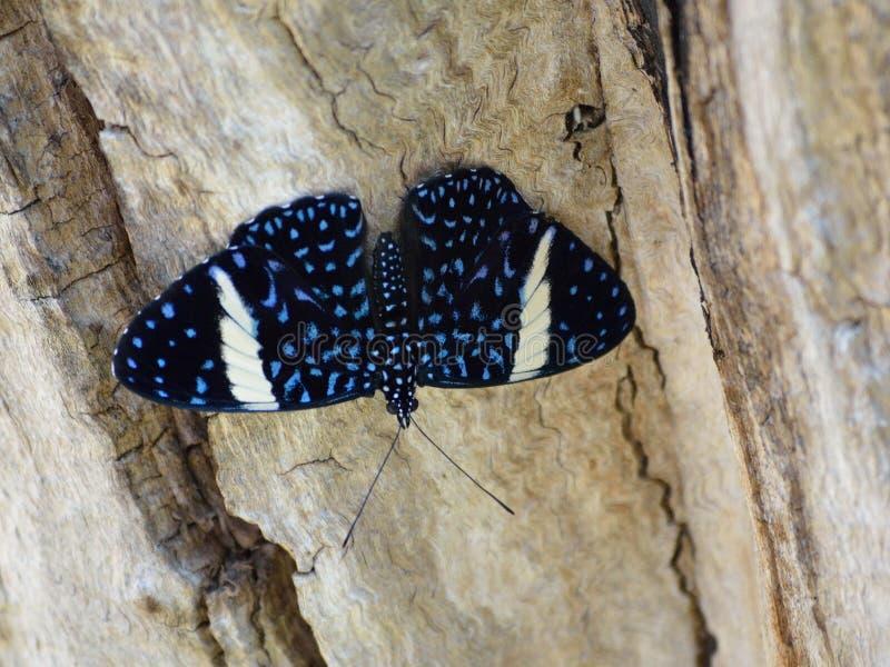 Μαύρο κροτίδων laodamia Nymphalidae Hamadryas πεταλούδων θηλυκό στοκ εικόνες με δικαίωμα ελεύθερης χρήσης