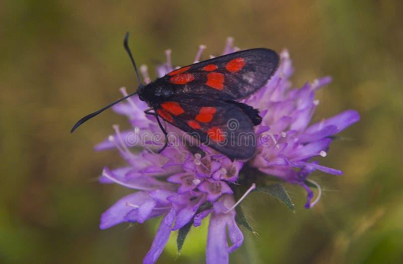 Μαύρο κόκκινο λουλούδι συνεδρίασης σημείων πεταλούδων στοκ φωτογραφίες