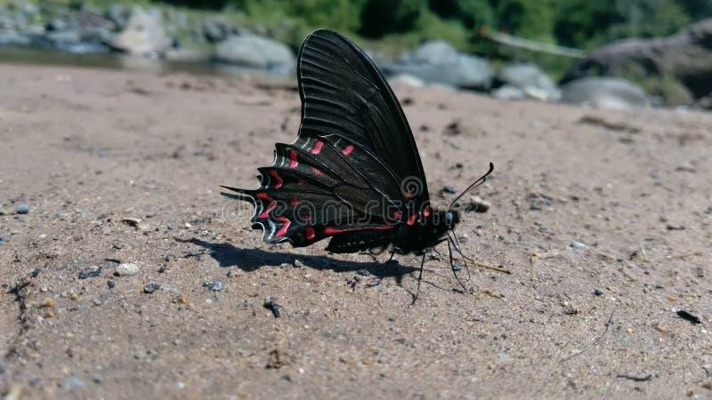 μαύρο κόκκινο πεταλούδων στοκ εικόνα