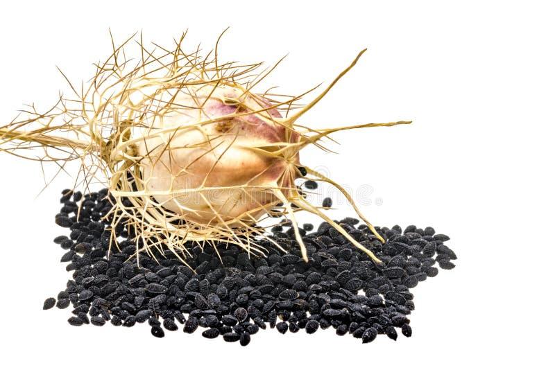 Μαύρο κύμινο με τους λοβούς και τα φύλλα σπόρου στοκ εικόνα