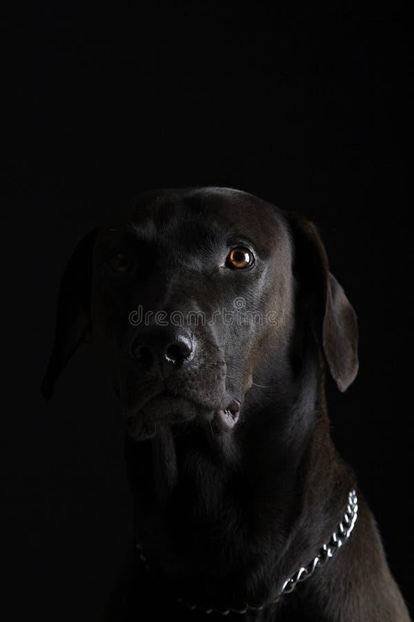 μαύρο Λαμπραντόρ στοκ φωτογραφία με δικαίωμα ελεύθερης χρήσης