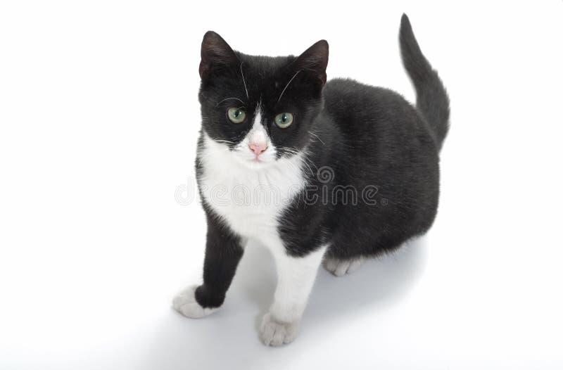 μαύρο λευκό γατακιών στοκ εικόνες