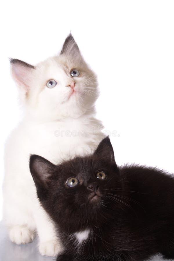 μαύρο λευκό γατακιών στοκ φωτογραφίες