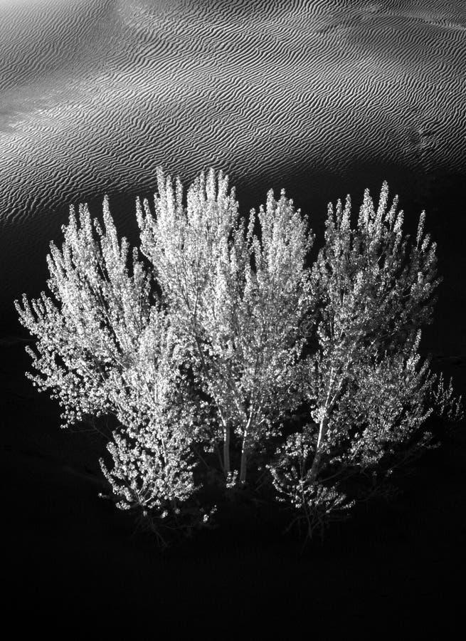μαύρο λευκό δέντρων άμμου &alpha στοκ εικόνες