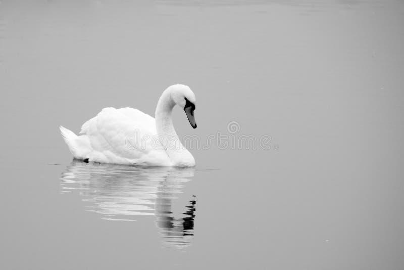 μαύρο λευκό κύκνων λιμνών στοκ φωτογραφία με δικαίωμα ελεύθερης χρήσης