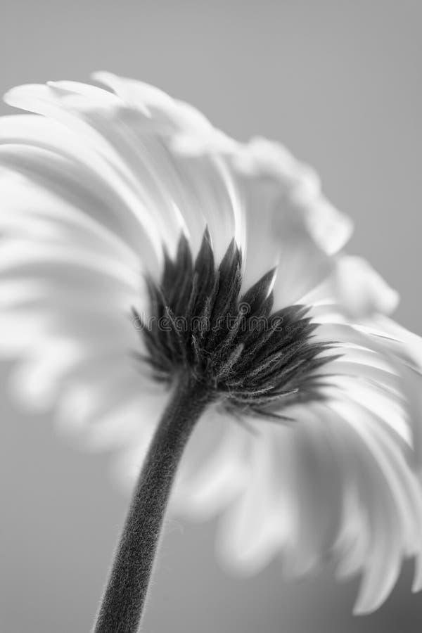 μαύρο λευκό μαργαριτών gerber στοκ εικόνες
