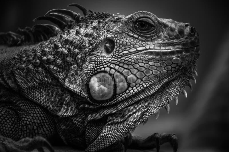 Μαύρο λευκό Iguana στοκ φωτογραφία με δικαίωμα ελεύθερης χρήσης