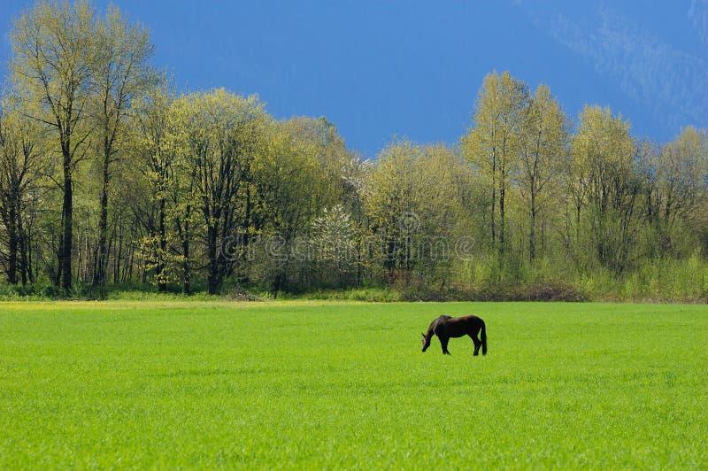 μαύρο λιβάδι αλόγων στοκ εικόνες με δικαίωμα ελεύθερης χρήσης
