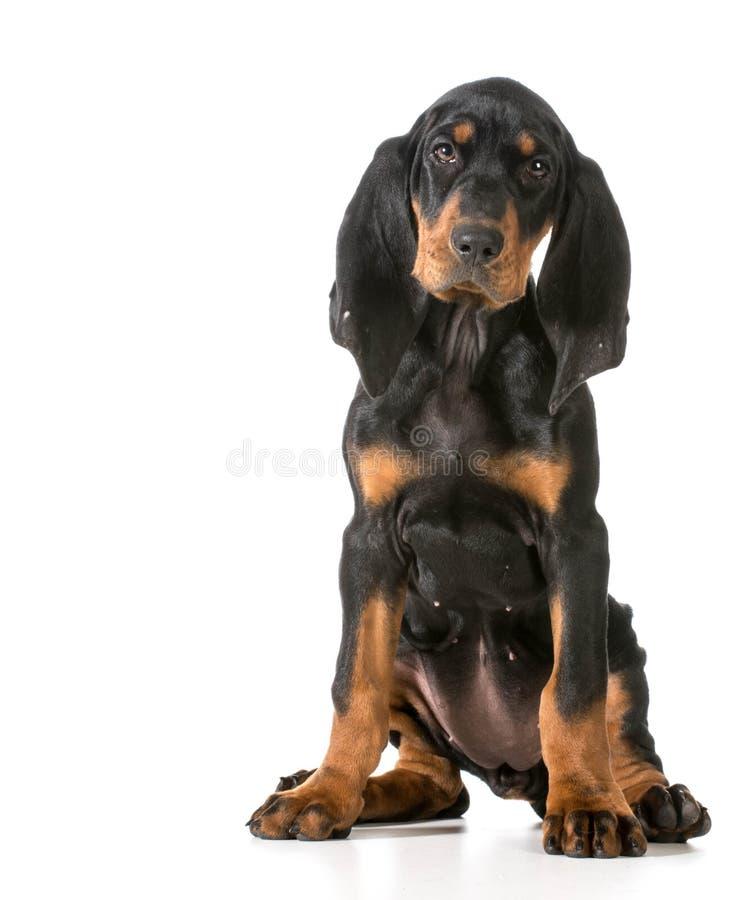 μαύρο μαύρισμα coonhound στοκ φωτογραφίες