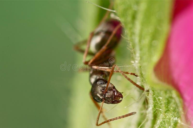Μαύρο μυρμήγκι σε ένα λουλούδι μελανιού στοκ φωτογραφίες