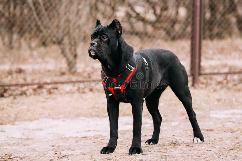 Μαύρο νέο σκυλί κουταβιών Corso καλάμων υπαίθρια στοκ φωτογραφίες
