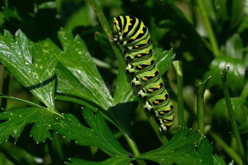 Μαύρο να ταΐσει καμπιών swallowtail με το μαϊντανό στοκ φωτογραφία με δικαίωμα ελεύθερης χρήσης