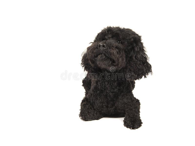 Μαύρο ξάπλωμα σκυλιών labradoolde που φαίνεται επάνω απομονωμένο σε ένα λευκό στοκ εικόνες με δικαίωμα ελεύθερης χρήσης