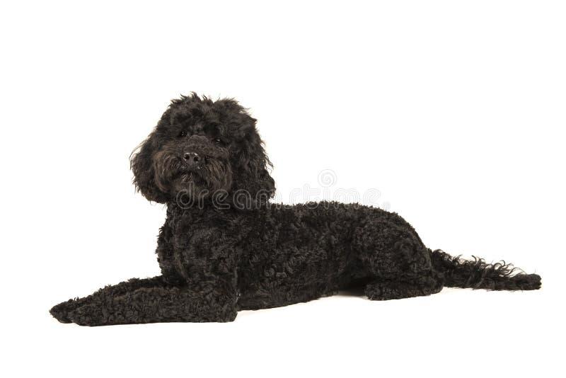 Μαύρο ξάπλωμα labradoodle, που φαίνεται επάνω απομονωμένο σε μια λευκιά ΤΣΕ στοκ φωτογραφίες