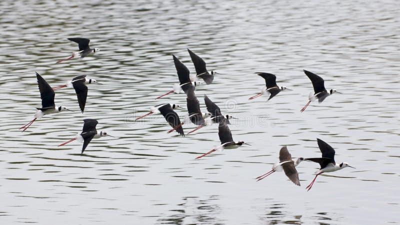 μαύρο ξυλοπόδαρο πτήσης φτερωτό στοκ φωτογραφία με δικαίωμα ελεύθερης χρήσης