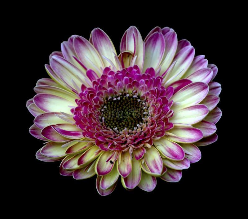μαύρο λουλούδι στοκ φωτογραφίες
