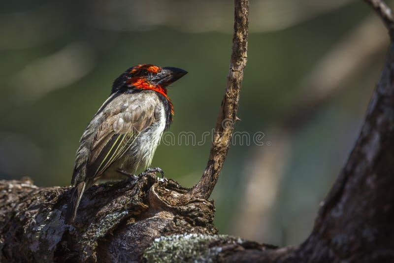 Μαύρο πιαμένο Barbet στο εθνικό πάρκο Kruger, Νότια Αφρική στοκ φωτογραφίες με δικαίωμα ελεύθερης χρήσης