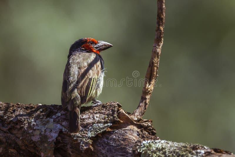Μαύρο πιαμένο Barbet στο εθνικό πάρκο Kruger, Νότια Αφρική στοκ εικόνα
