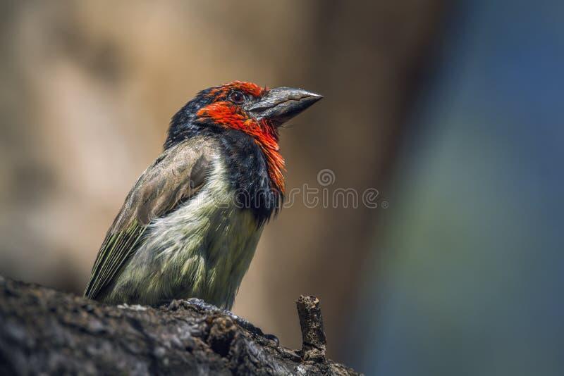 Μαύρο πιαμένο Barbet στο εθνικό πάρκο Kruger, Νότια Αφρική στοκ φωτογραφία με δικαίωμα ελεύθερης χρήσης