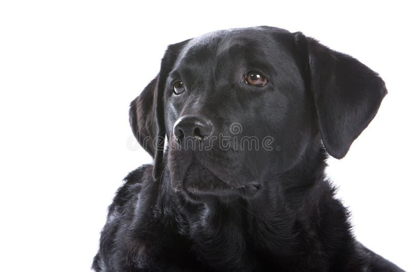 μαύρο πορτρέτο του Λαμπραντόρ σκυλιών στοκ εικόνα με δικαίωμα ελεύθερης χρήσης