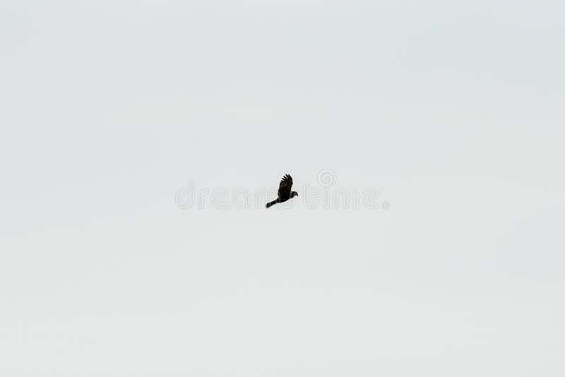 Μαύρο πουλί ικτίνων στοκ εικόνα με δικαίωμα ελεύθερης χρήσης