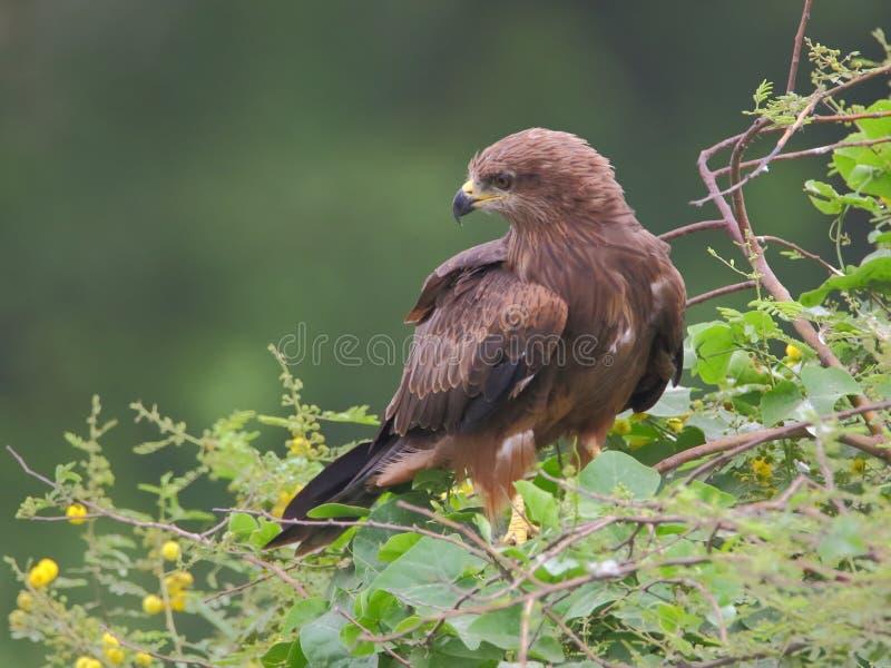 Μαύρο πουλί ικτίνων στοκ φωτογραφίες με δικαίωμα ελεύθερης χρήσης