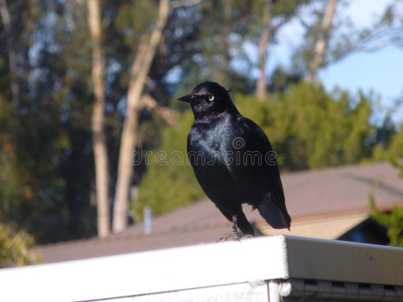 Μαύρο πουλί με ένα πόδι στοκ εικόνες