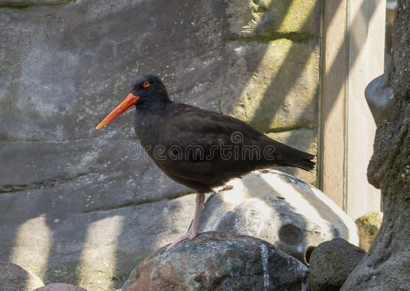 Μαύρο πουλί νεροκοτών στο ενυδρείο του Σιάτλ στοκ εικόνες
