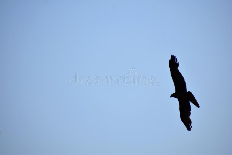 Μαύρο πουλί που πετά στον ουρανό - εικόνα συνειδητοποίησης άγριας φύσης με το διάστημα αντιγράφων στοκ φωτογραφίες