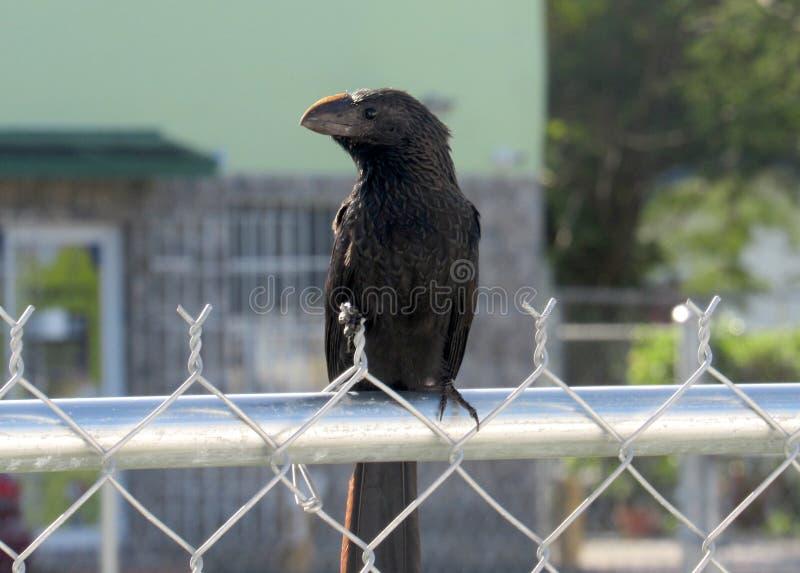 Μαύρο πουλί σε έναν φράκτη συνδέσεων αλυσίδων στοκ φωτογραφίες με δικαίωμα ελεύθερης χρήσης