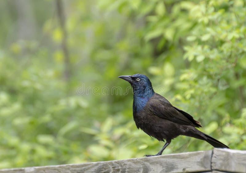 Μαύρο πουλί σκαρφαλωμένο στοκ εικόνες με δικαίωμα ελεύθερης χρήσης