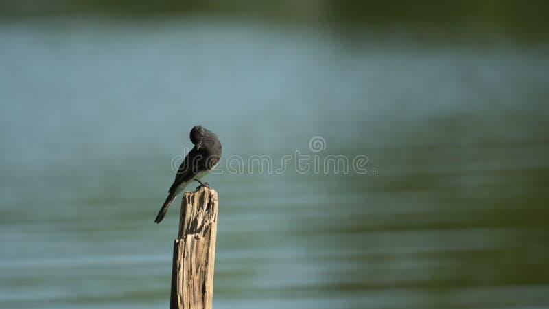 Μαύρο πουλί της Phoebe που σκαρφαλώνει στην ξύλινη σανίδα στοκ φωτογραφίες με δικαίωμα ελεύθερης χρήσης