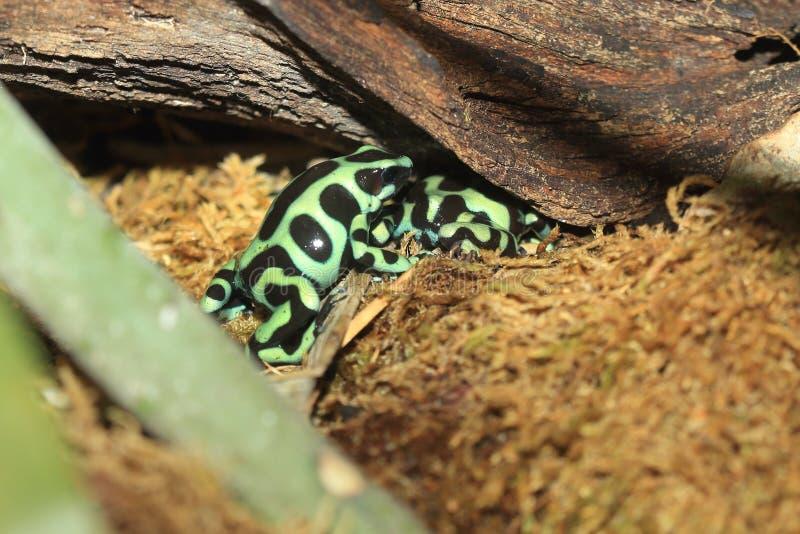 μαύρο πράσινο δηλητήριο βα& στοκ εικόνα