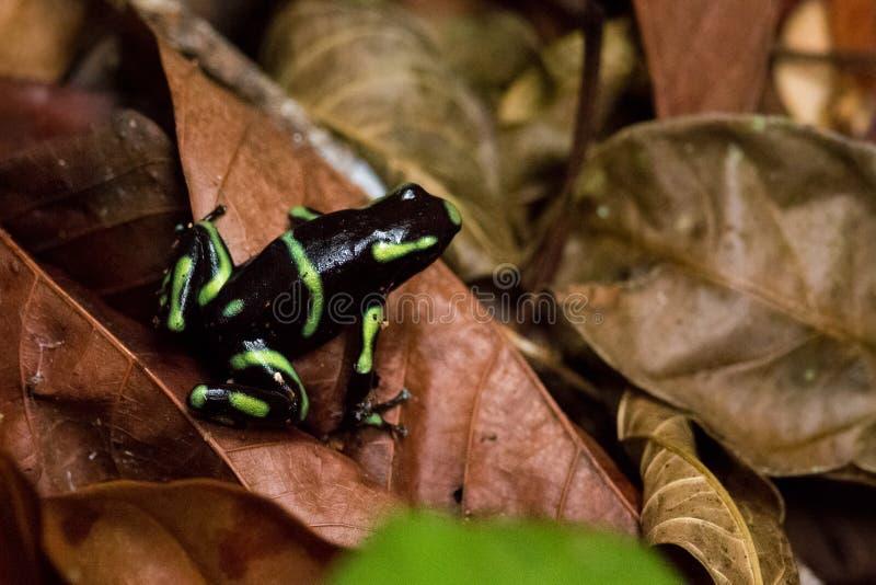μαύρο πράσινο δηλητήριο βα& στοκ φωτογραφία με δικαίωμα ελεύθερης χρήσης