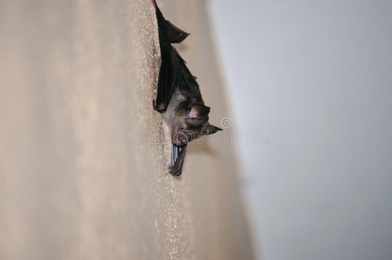 Μαύρο ρόπαλο ζωντανό στο σπίτι στοκ φωτογραφία με δικαίωμα ελεύθερης χρήσης
