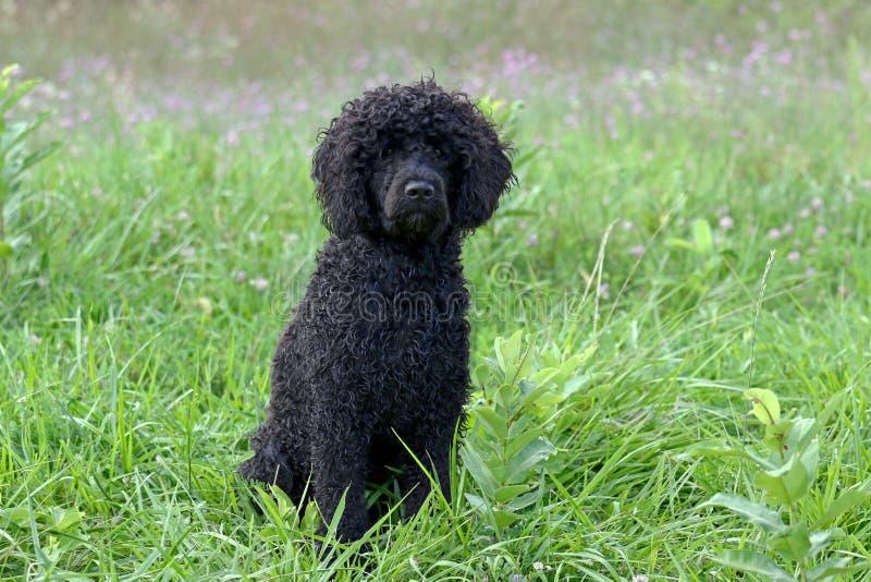 Μαύρο σγουρό ντυμένο πορτογαλικό σκυλί νερού σε ένα θερινό λιβάδι ρ στοκ εικόνες με δικαίωμα ελεύθερης χρήσης