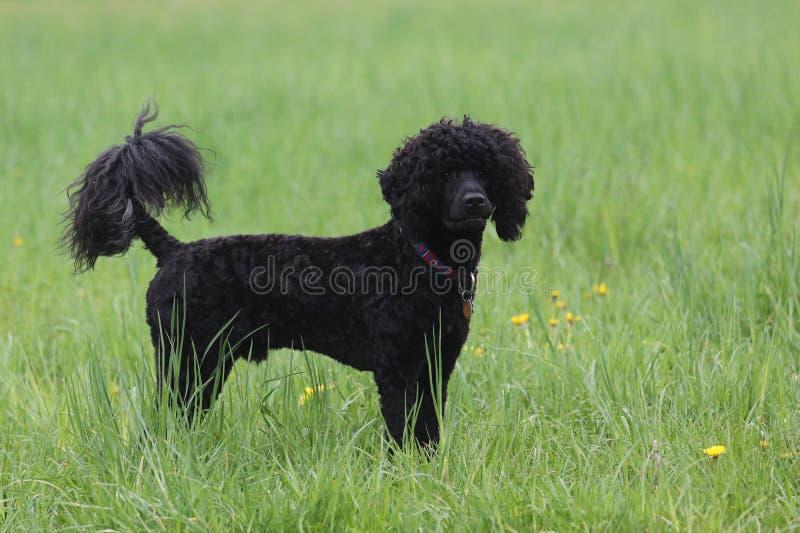 Μαύρο σγουρό ντυμένο πορτογαλικό σκυλί νερού το καλοκαίρι στοκ φωτογραφία