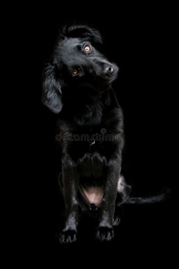 μαύρο σκοτεινό siria σκυλιών ανασκόπησης στοκ φωτογραφία με δικαίωμα ελεύθερης χρήσης
