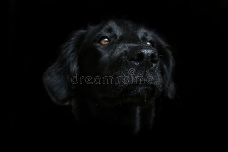 μαύρο σκοτεινό siria σκυλιών &alph στοκ εικόνες με δικαίωμα ελεύθερης χρήσης