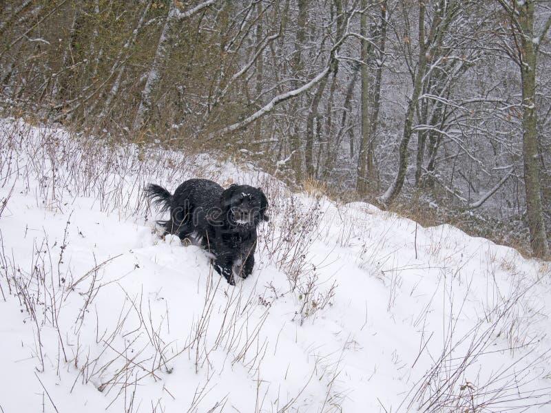 Μαύρο σκυλί που απολαμβάνει ένα τρέξιμο στα ξύλα, στο χιόνι Το Μάρτιο του 2018 στοκ φωτογραφία με δικαίωμα ελεύθερης χρήσης