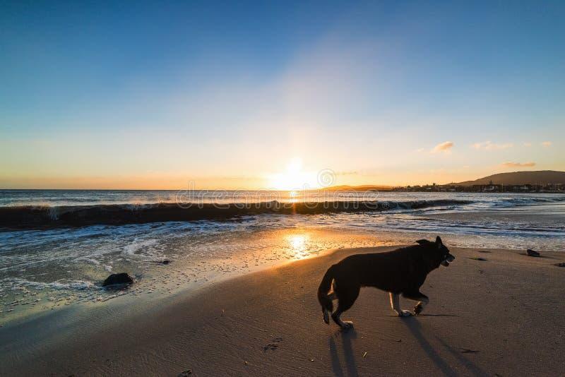 Μαύρο σκυλί που περπατά στην άμμο στο ηλιοβασίλεμα στοκ εικόνες