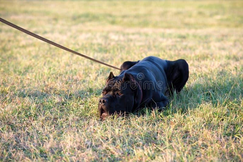 Μαύρο σκυλί φυλής Corso καλάμων που ξαπλώνει στη χλόη στοκ εικόνες